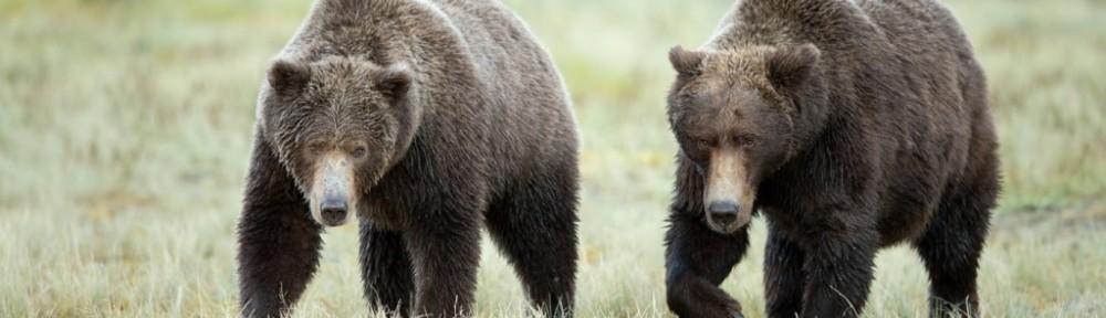 two-bears-geographic-harbor-katmai-np - Copy